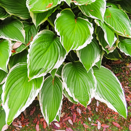 Variegated Green And White Edged Hosta