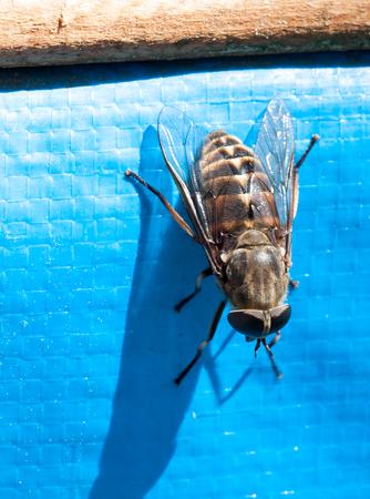 Fly brake horsefly - bloodsucker close