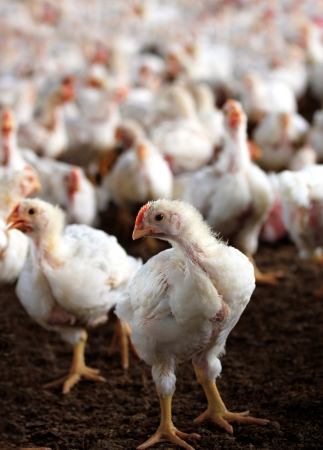 Young white hen looking at the camera with a group of other chicken behind it in a poultry farm bred especially for meat and eggs