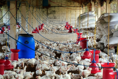 Poultry farm with many domesticated hen(fowl) being grown for their chicken meat, feathers and eggs