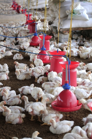 Poultry farm with young white chicken being bred for meat. This small scale industry is situated in south indian rural countryside and is crowded with white chicks