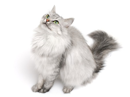 Pretty grey long hair cat looking up isolated on white, focus on face