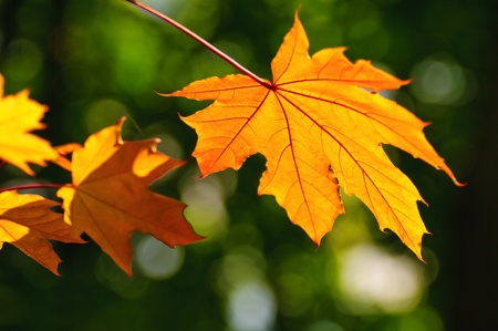 Photo pour First fall colored maple leaves in the park on the background of yet green foliage - image libre de droit
