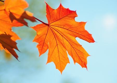 Golden maple leaf against azure autumn sky