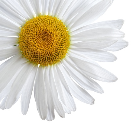 Chamomile, or daisy flower isolated on white background with clipping-path
