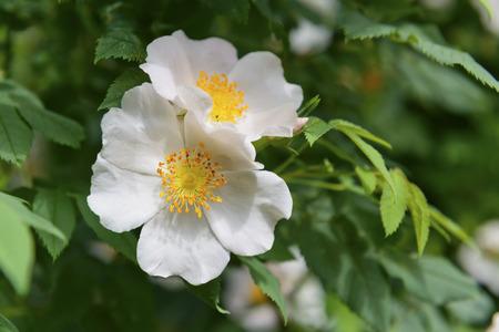 Beautiful tender rosehip flowers
