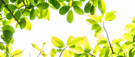 Photo pour Panorama backlit tree leaves in home flower garden on sunny day with white background. - image libre de droit