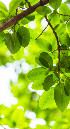 Photo pour Backlit tree leaves in home flower garden on sunny day with white background. - image libre de droit
