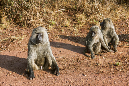 The baboons are walking around which of the angry baboon sitting.