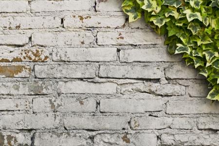 Foto per Parete di mattoni bianchi con edera rampicante - Immagine Royalty Free