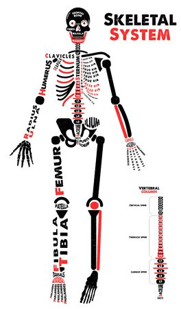 Illustration pour Skeletal System Poster. Didactic Board of Anatomy of Human Bony System. Vector Illustration. - image libre de droit