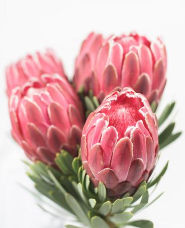 King Protea Blossoms