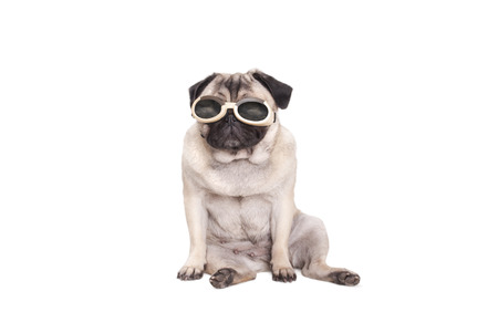 cute pug dog puppy dog ??wearing goggles, isolated on white background