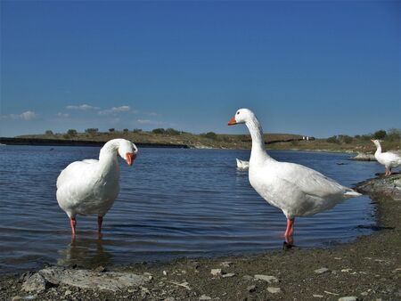 Two beautiful white geese in the water