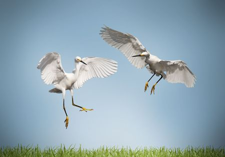 love - pair of cranes on a meadow