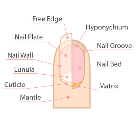 Foto per Structure and anatomy of human nail. Color medical scheme on white background. Isolated illustration. - Immagine Royalty Free