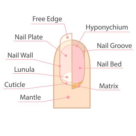 Ilustración de Structure and anatomy of human nail. Color medical scheme on white background. Isolated illustration. - Imagen libre de derechos