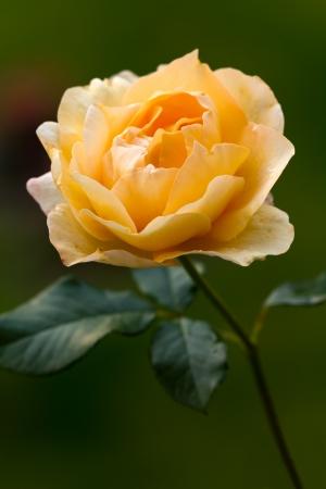 Orange Rose by Night