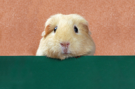 funny portret of guinea pigの写真素材