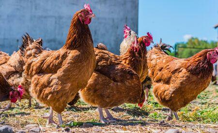 Photo pour Chickens on traditional free range poultry farm. - image libre de droit