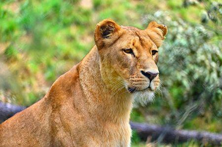 Photo pour Animal - beautiful lioness. Colorful nature background. - image libre de droit