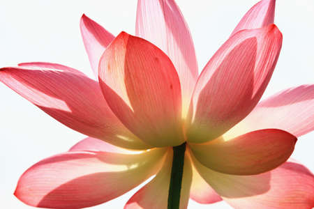 Photo pour Beautiful pink lotus flower blooming in the pond with white background - image libre de droit