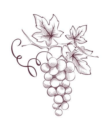 Image of grapes - engraving