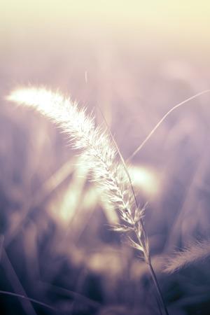 Foxtail Grass background