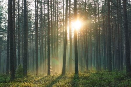 The rays of the morning warm sun pass through the pine forest in the early summer morning.