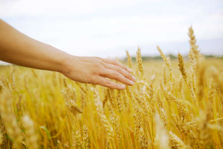 Photo pour Hand touches the cereal. Concept of protection and care for grain. Shallow depth of golden field. - image libre de droit