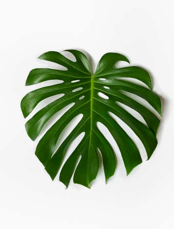 Photo for Monstera plant leaf on a white background. - Royalty Free Image