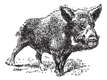 Boar or wild pig, vintage engraved illustration. Dictionary of words and things - Larive and Fleury - 1895.