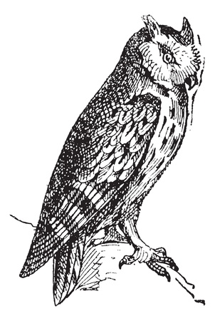 Scops owl perched on branch, vintage engraved illustration. Dictionary of words and things - Larive and Fleury - 1895.