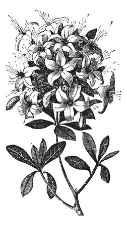 Engraved Azalea Illustration Wallpaper Mural