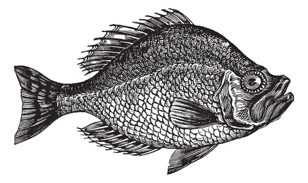 Photo for Centrarchus aeneus or rock bass fish vintage engraving. Old engraved illustration of Centrarchus aeneus.  - Royalty Free Image
