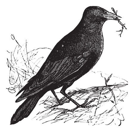 Illustration pour Jackdaw or Corvus monedula, vintage engraving. Old engraved illustration of a Jackdaw. - image libre de droit