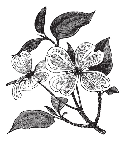 Flowering Dogwood or Cornus florida, vintage engraving. Old engraved illustration of a Flowering Dogwood.