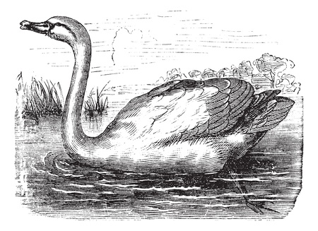 Mute Swan or Cygnus olor, vintage engraving. Old engraved illustration of a Mute Swan.