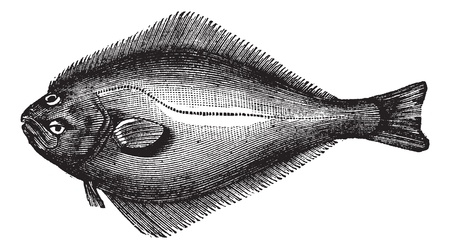 Atlantic Halibut or Hippoglossus hippoglossus, vintage engraving. Old engraved illustration of an Atlantic Halibut.