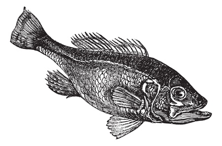 Largemouth bass (Micropterus salmoides) or widemouth bass or bigmouth or black bass or bucketmouth vintage engraving. Old engraved illustration of freshwater largemouth bass fish.