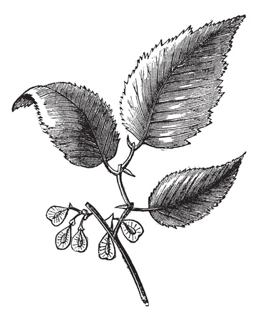 Slippery elm or Ulmus fulva, isolated on white, vintage engraved illustration. Trousset encyclopedia (1886 - 1891).