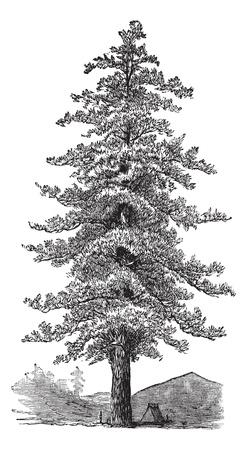 Illustration pour American yellow pine (Pinus ponderosa) or Ponderosa Pine or Bull Pine or Blackjack Pine or Western Yellow Pine,vintage engraved illustration. Trousset encyclopedia (1886 - 1891).  - image libre de droit
