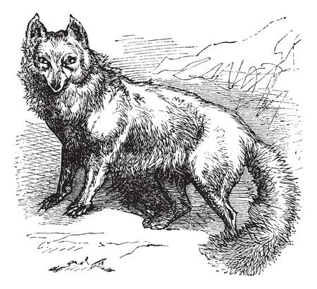 Arctic Fox or Vulpes lagopus or Alopex lagopus or Canis lagopus or White Fox or Polar Fox or Snow Fox, vintage engraving. Old engraved illustration of Arctic Fox.