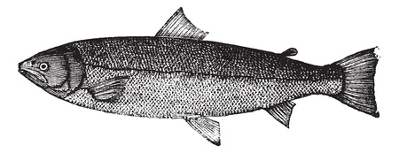 Atlantic salmon or Salmo salar or Bay salmon or Black salmon or Caplin-scull salmon or Fiddler or Grilse or Grilt or Kelt or Slink or Smolt or Sebago salmon or Winnish or Landlocked salmon, vintage engraving. Old engraved illustration of Atlantic salmon i