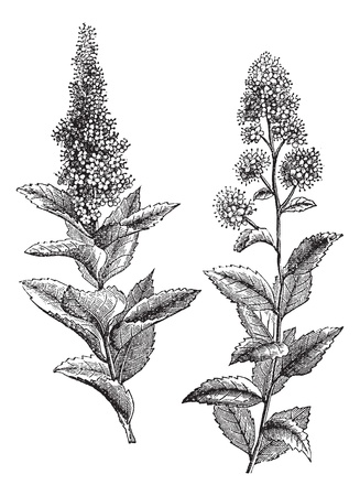 Spiraea salicifolia and Steeplebush or Spiraea tomentosa or Hardhack, vintage engraving. Old engraved illustration of Spiraea salicifolia (1) and Steeplebush (2) isolated on a white background.