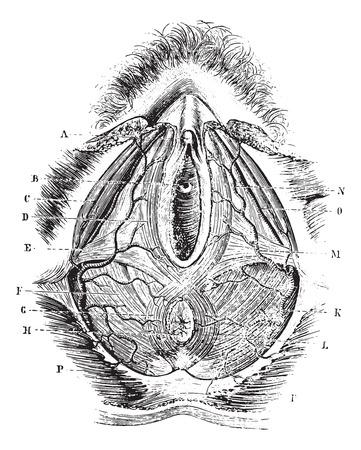 Foto de Perineum in women, vintage engraved illustration. Usual Medicine Dictionary - Paul Labarthe - 1885. - Imagen libre de derechos