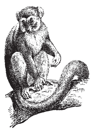 Lemur or Lemur sp., vintage engraved illustration. Dictionary of Words and Things - Larive and Fleury - 1895