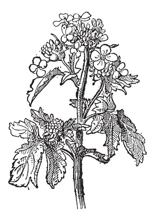 Mustard, Sinapis sp., or Brassica sp., showing flowers, vintage engraved illustration. Dictionary of Words and Things - Larive and Fleury - 1895
