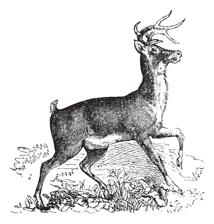 Whitetail, Carausius virginianus or Virginia deer vintage engraving. Old engraved illustration of whitetail.