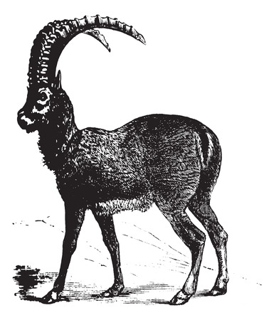 Alpine Ibex also known as Capra ibex, goat, vintage engraved illustration of Alpine Ibex, goat.
